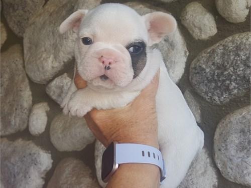French Bulldogs Pups  AKC