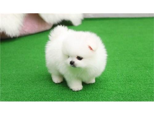 AKC reg. Pomeranian pups
