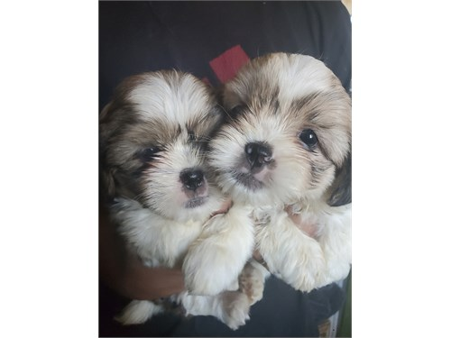 Shih-Tzu Puppies-Ready No