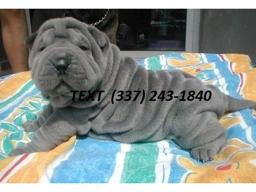 sharpei/chinese for sale