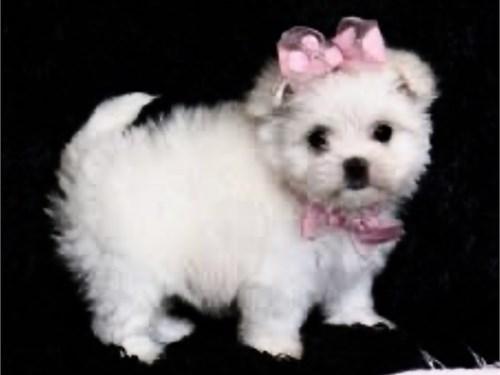T Cups Maltese Puppies Pets Irvine
