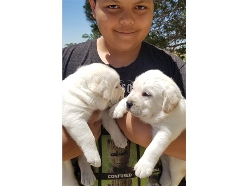 AKC White Lab Puppies