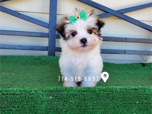 Adorable Malshi Puppies