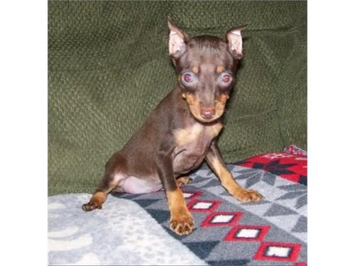 Minia pinscher puppie
