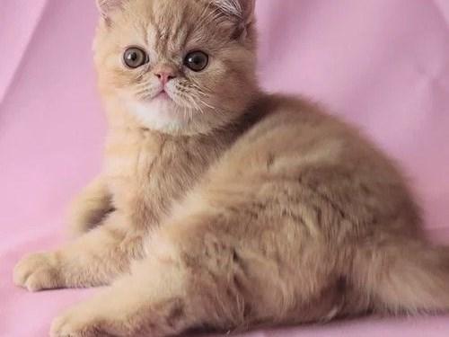 M/F Himalayan kittens