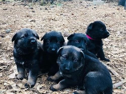 puppies for sale LA