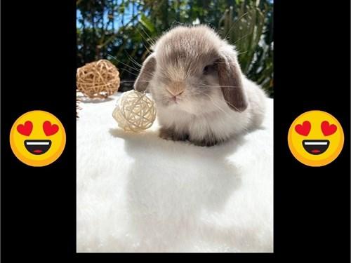 baby holland lop bunnies,