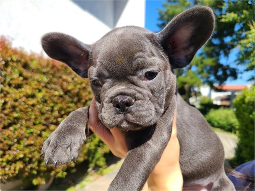 Solid Blue Frenchie Male