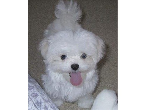 Lovely Maltese Puppie