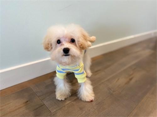Toy Bichon poodle