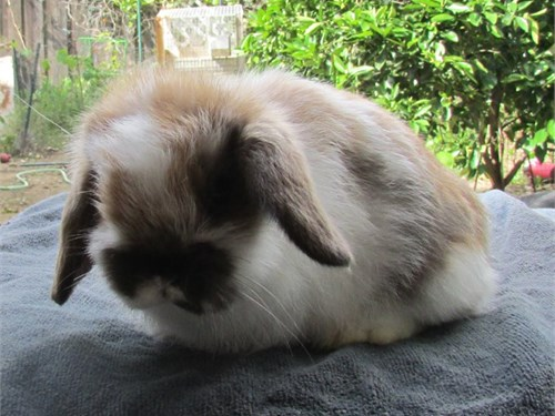 Holland Lop Bunnies!