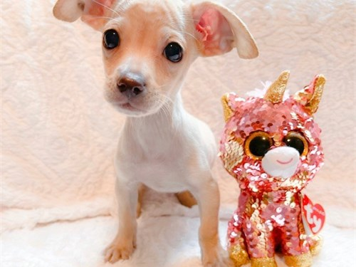 T-CUP CHIHUAHUA PUPPIES!