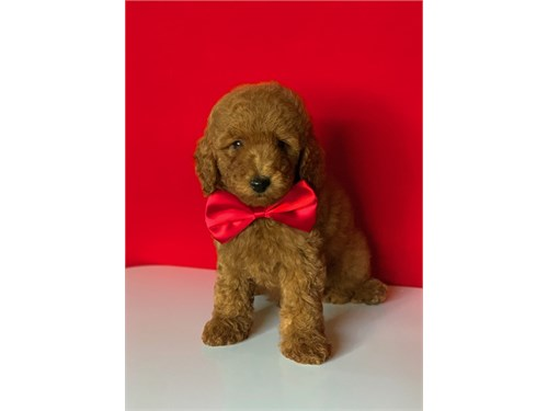 Red Mini Goldendoodle