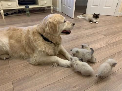 9 weeks Ragdoll kittens