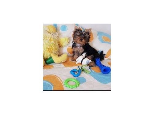 Marvelous Yorkie Puppies