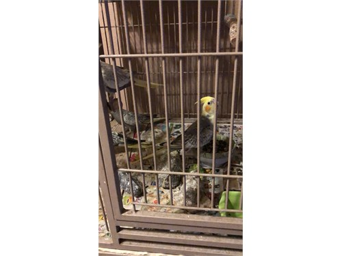Cockatiels for sale $50