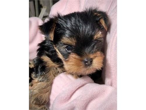 Purebred Tiny Yorkie Pupp
