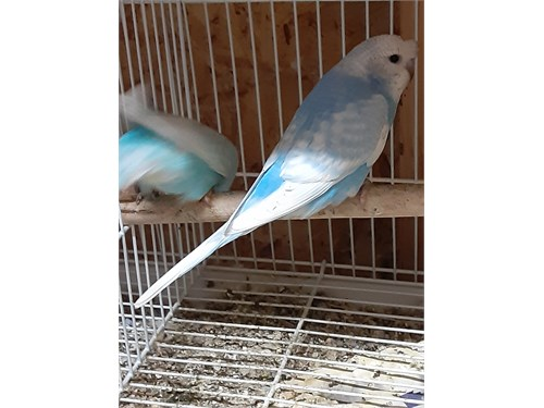 Crested parakeet babies