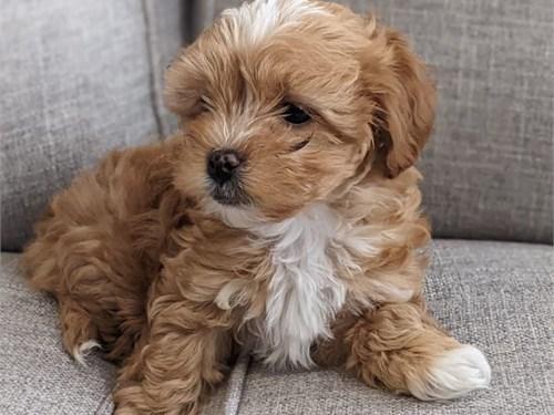 Adorable Mal-Shi puppy