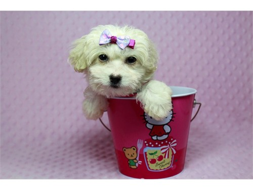 Teacup and Toy Maltipoo