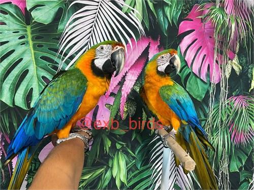 Talking Catalina Macaws