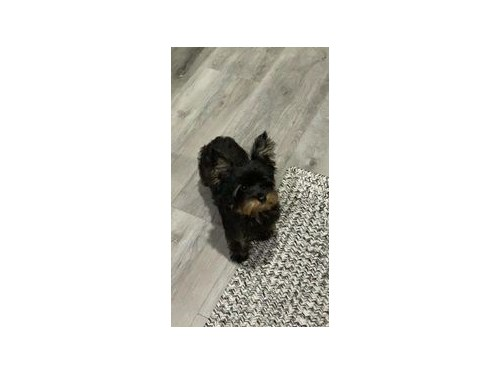 Male Blue/Gold Yorkie
