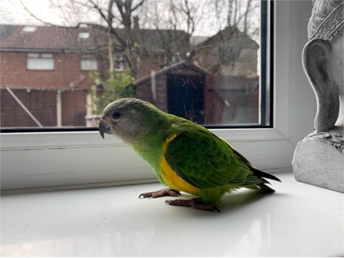 Amazon Parrots 4 Sale