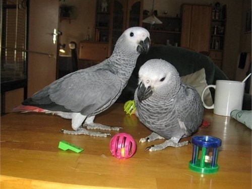 Talking African Grey parr