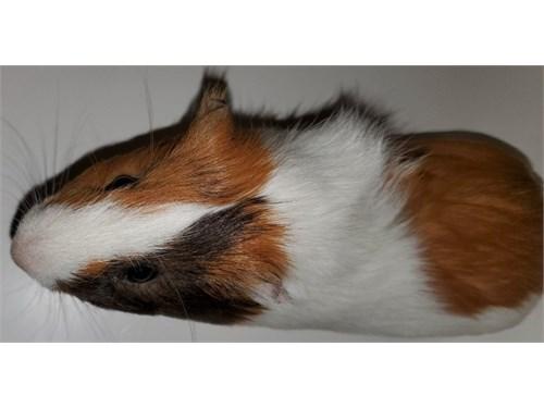 Guinea pig-male
