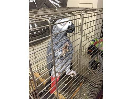 African greys parrots rea