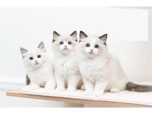 Beautiful ragdoll cats