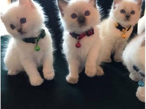 Playful Ragoll Kittens