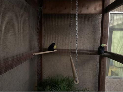 Keel Billed Toucans Pair