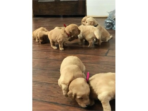 Golden Puppies available