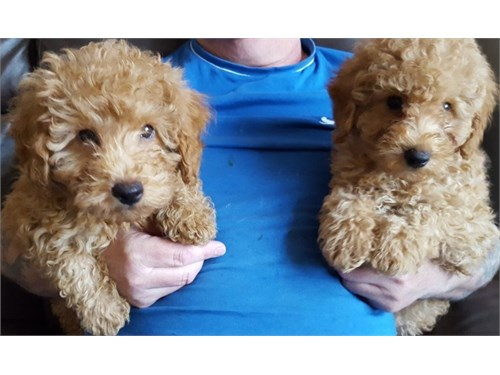 Toy Poo-dle Pups