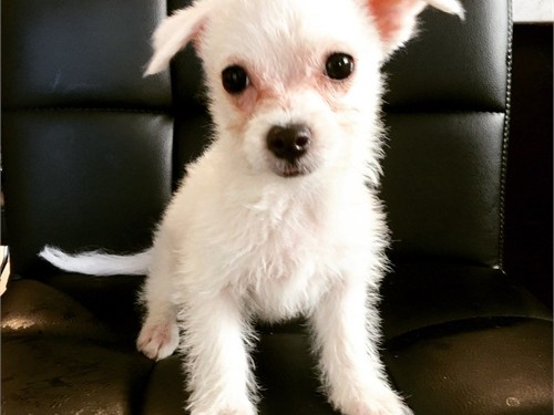 Very Small Maltese mix