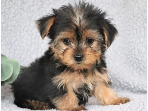 Friendly T-cup Yorkie