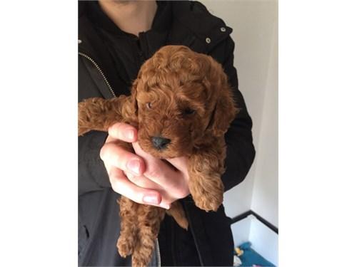 poodle pups for sale