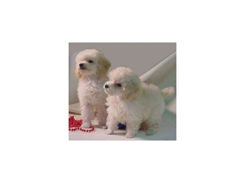 TOY POODLE ? PUPPIES