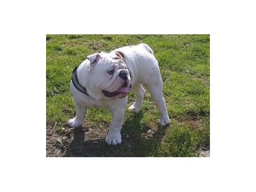 AKC cute English Bulldog