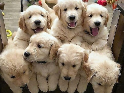 Golden pups for sale