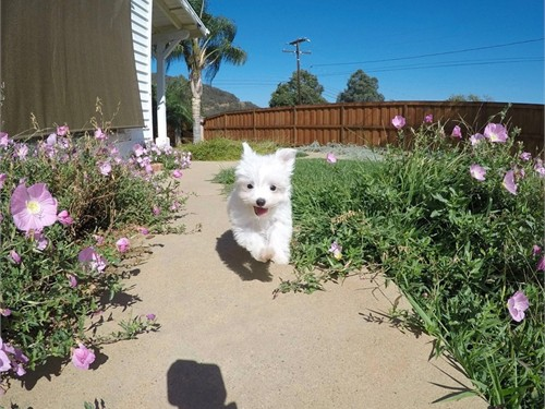 Female Maltese Puppy!!!