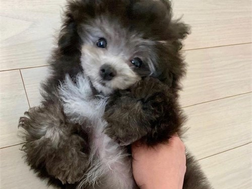 Toy Silver poodle