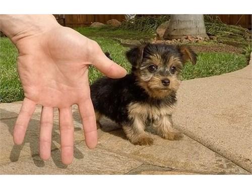 Teacup Yorkie Pups