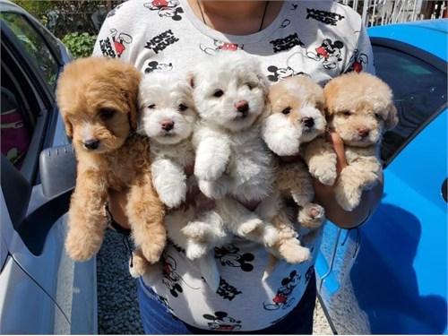 Cute maltipoo puppies !&