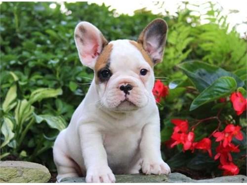 Beautiful frenchies Pups