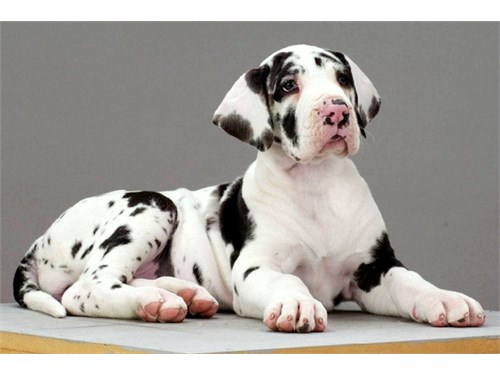 Great Dane pup