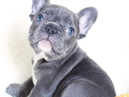 Champ Frenchie Pups