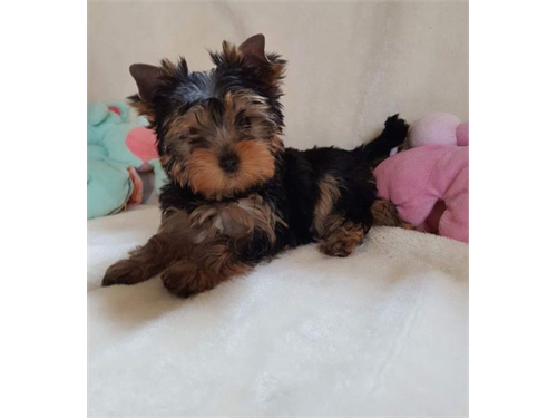 Wholesome Yorkie Puppies