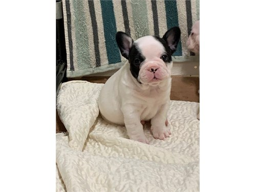 Paco-Akc French Bulldog